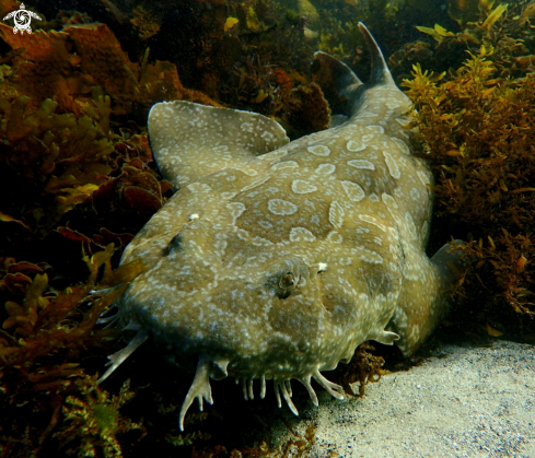 A Spotted wobbegong