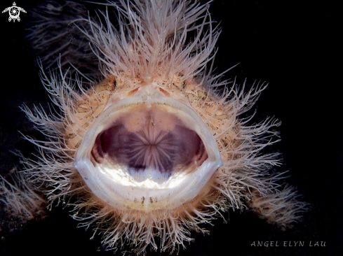 The Yawning hairy frogfish