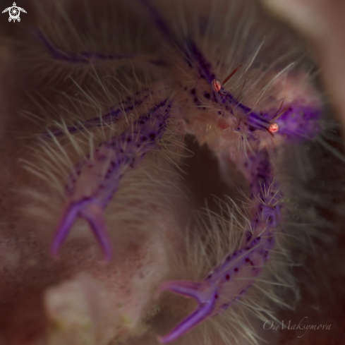 A Pink hairy squat lobster (Lauriea siagiani)