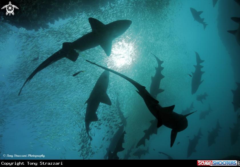 Sharks and Sun