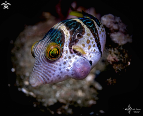 A Canthigaster valentini (Bleeker, 1853) | Valentini Pufferfish