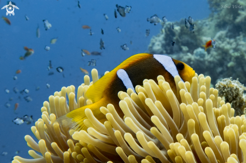 A Amphiprion bicinctus | Two-banded Anemonefish
