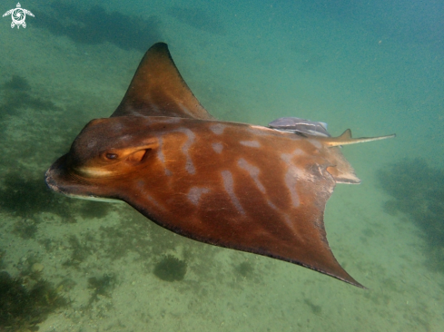 A Southern eagle ray