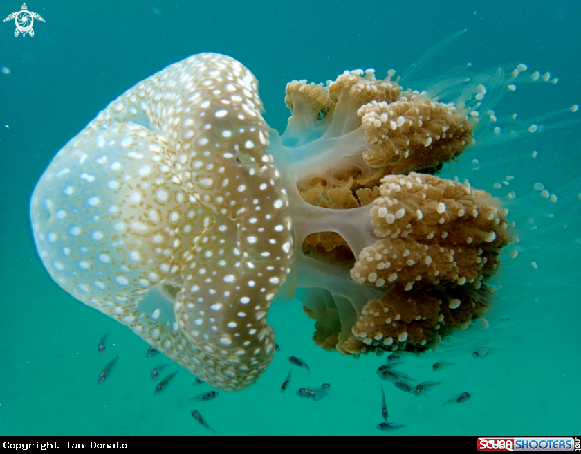 A white-spotted jellyfish