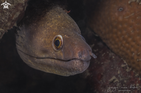 A Gymnothorax vicinus | Purplemouth moray