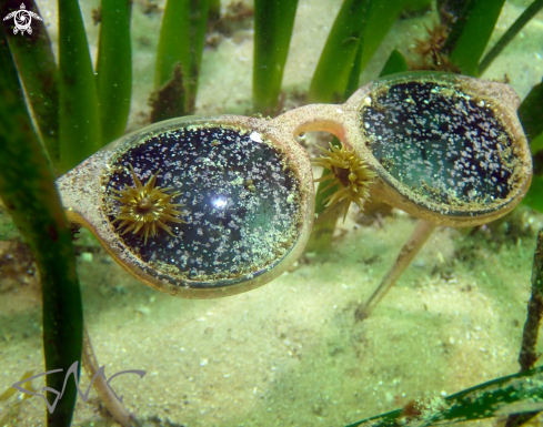 A Green snakelock anemone
