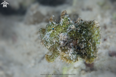 A Freckled Frogfish