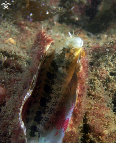 The Brown sabretooth blenny
