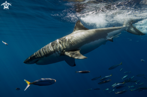 A Carcharodon carcharias | Great White Shark