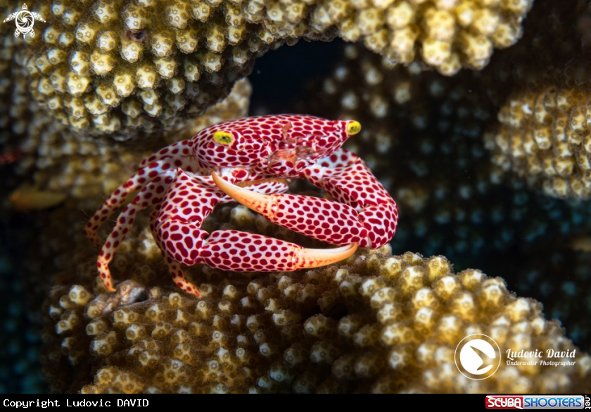 A Rust-Spotted Guard Crab