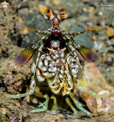 A Odontodactylus latirostris (Borradaile, 1907)  | Pink eared mantis shrimp