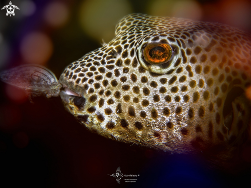 A Arothron  | Pufferfish