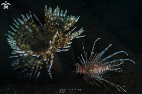 A Lionfish & Magnificent feather duster worm