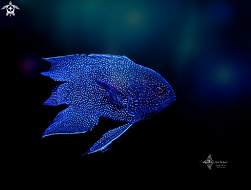 The Western Blue Devil  Fish