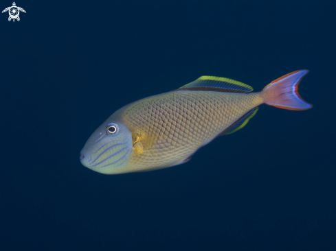 A Male Crosshatch Triggerfish