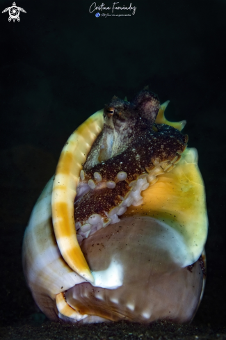 A Coconut octopus