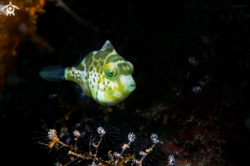 A Mimic filefish