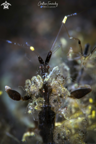 A Skeleton shrimp