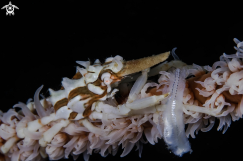 A Wire coral crab