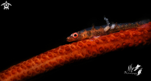 A Whip coral Goby