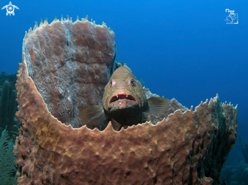 A Tiger Grouper
