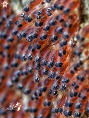 A Clownfish eggs