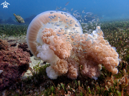 A Giant Ocean jellyfish