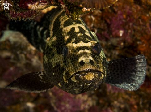 The Snout-spots Grouper