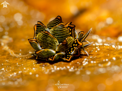 The Tiger Butterfly Seaslug