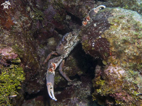 A Channel Clinging Crab
