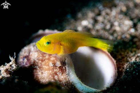 A Yellow Coral Goby
