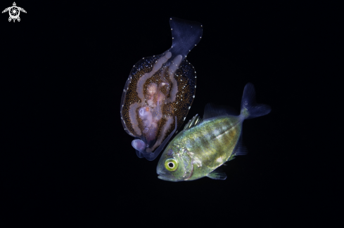 The Pelagic Nudibranch and juvenile Jack fish
