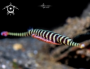 A Banded Pipefish, male carrying eggs