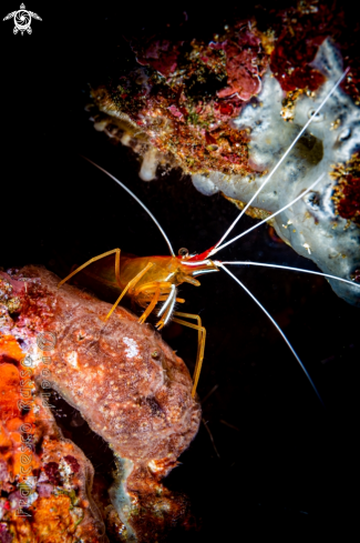 A Humpback Cleaner Shrimp