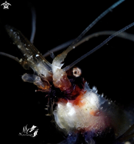 A Stenopus Hispidus | Banded boxer Shrimp
