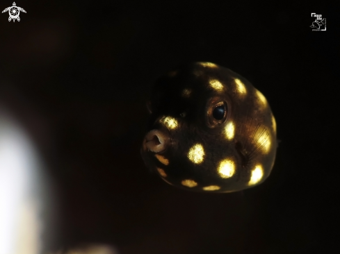 A Juvenile Smooth Trunkfish