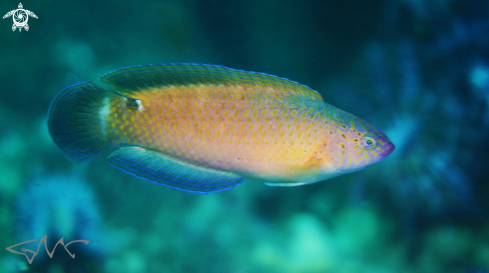 A Black-spotted Wrasse