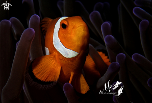 A Clownfish with anemona