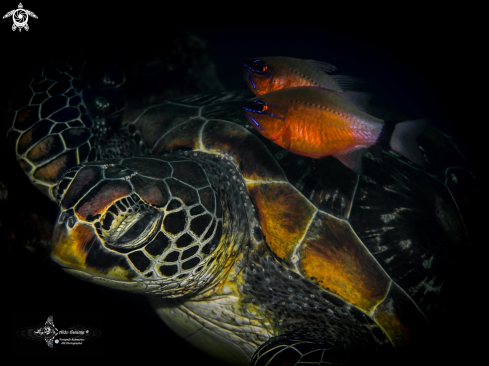 A Green Turtle and Ring Tailed Cardinal Fish