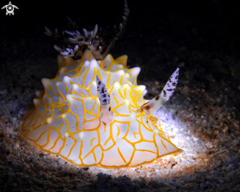 A Gold Lace nudibranch