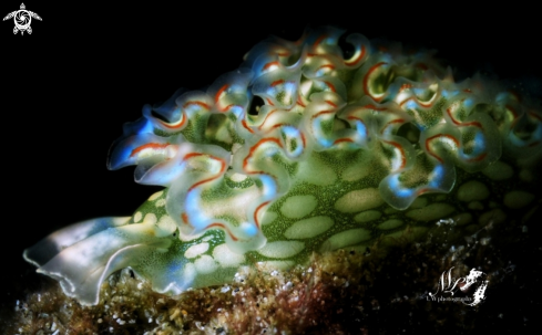 Lettuce nudibranch