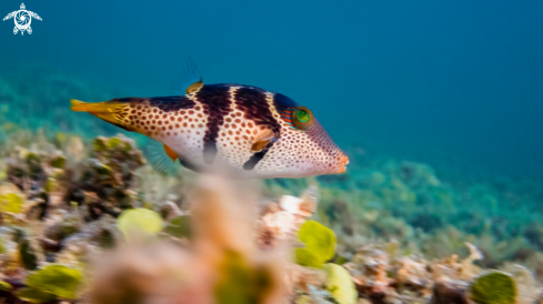 A Saddle Valentini Puffer Fish