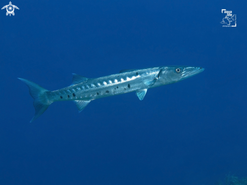 A Sphyraena barracuda | Great Barracuda