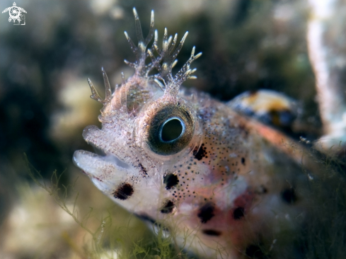 A Female Roughead Blenny
