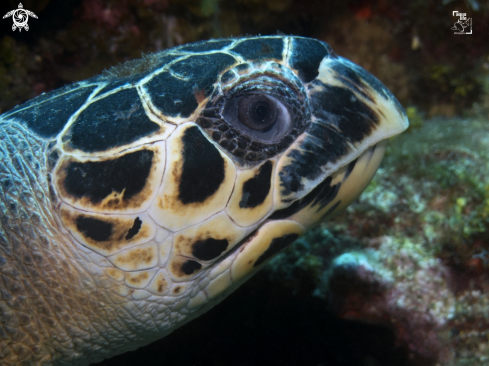 The Hawsbill Turtle