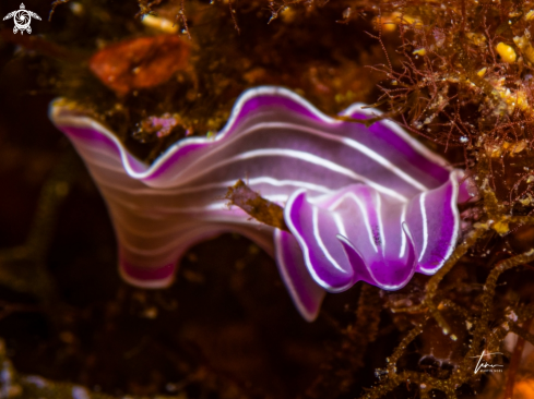 A Pink Flatworm
