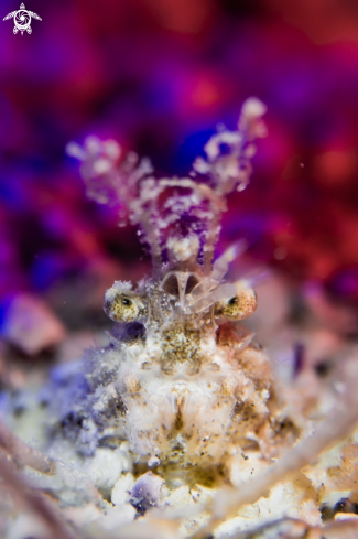 A Decorator crab
