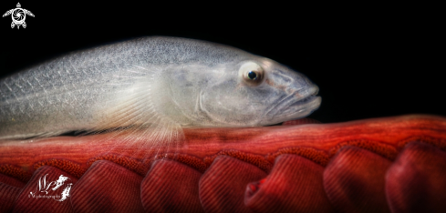 A Ghost Goby