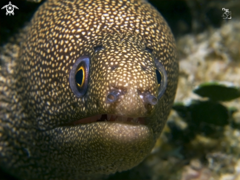A Goldentail Moray