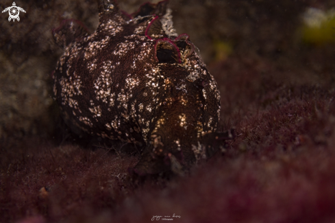 A Mottled sea hare